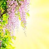 Floración de las glicinias Imágenes de archivo libres de regalías