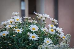 Floración de las margaritas Imagenes de archivo