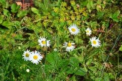 Floración de las margaritas blancas al lado del eneldo Imagenes de archivo
