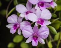 Floración de las orquídeas Fotografía de archivo