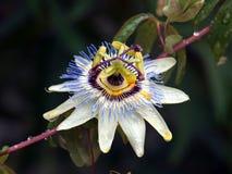 Floración de las pasiones/de Maracuja fotografía de archivo libre de regalías