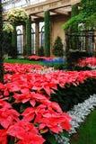 Floración de las poinsetias en un atium Imagen de archivo libre de regalías