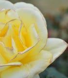 Floración de las rosas amarillas Fotos de archivo libres de regalías