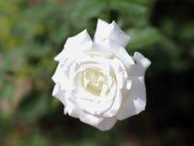 Floración de las rosas blancas Fotografía de archivo libre de regalías