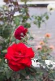 Floración de las rosas rojas en jardín Foto de archivo
