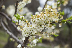 Floración de los árboles de almendra Fotos de archivo libres de regalías