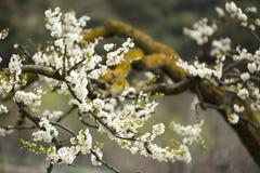 Floración de los árboles de almendra Fotografía de archivo