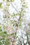 Floración de los árboles florecientes de la primavera Imagen de archivo libre de regalías