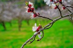 Floración de los albaricoques imágenes de archivo libres de regalías