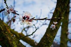 Floración de los albaricoques fotos de archivo