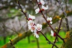 Floración de los albaricoques fotos de archivo libres de regalías