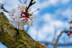 Floración de los albaricoques imagenes de archivo