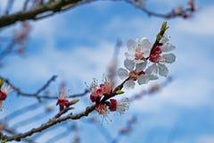 Floración de los albaricoques foto de archivo
