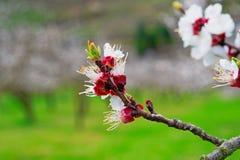 Floración de los albaricoques fotografía de archivo
