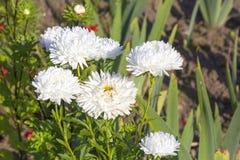 Floración de los asteres en el jardín Imagen de archivo libre de regalías