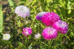 Floración de los asteres en el jardín Fotos de archivo