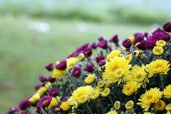Floración de los crisantemos Fotografía de archivo