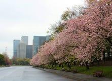 Floración de los flores de cereza de Sakura plena en ciudad Fotos de archivo