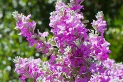 Floración de los frutescens de Leucophyllum Fotografía de archivo