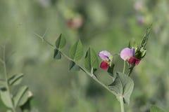 Floración de los guisantes Fotos de archivo libres de regalías