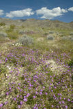 Floración de los lirios del desierto y de las flores blancas Imagen de archivo libre de regalías