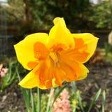 Floración de los narcisos Imagenes de archivo