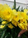Floración de los narcisos Fotografía de archivo libre de regalías