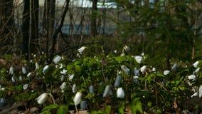 Floración de los snowdrops del borde de la carretera en el parque de la ciudad de la primavera metrajes