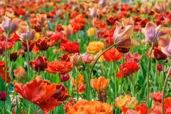 Floración de los tulipanes Fotografía de archivo libre de regalías