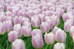 Floración de los tulipanes Imágenes de archivo libres de regalías
