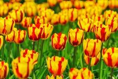 Floración de los tulipanes Foto de archivo libre de regalías