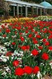 Floración de los tulipanes Imagen de archivo