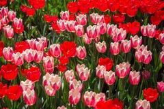 Floración de los tulipanes del color rojo en primavera Fotos de archivo libres de regalías