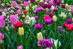 Floración de los tulipanes y de Rose Start imagen de archivo