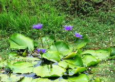 Floración de Lotus en el canal Foto de archivo