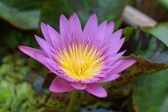 Floración de Lotus hermosa Imagen de archivo libre de regalías
