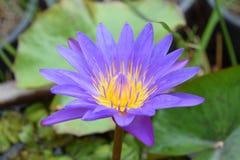 Floración de Lotus hermosa Fotografía de archivo libre de regalías