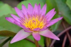 Floración de Lotus hermosa Imágenes de archivo libres de regalías