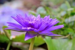 Floración de Lotus hermosa Fotos de archivo libres de regalías