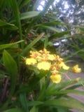 Floración de Oncidium Foto de archivo libre de regalías
