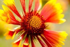 Floración de oro de la flor Fotografía de archivo