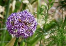 Floración de Perple Imagenes de archivo