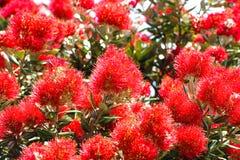 Floración de Pohutukawa Fotografía de archivo