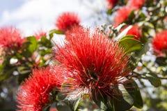 Floración de Potutukawa Imagen de archivo