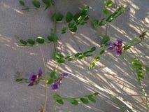 Floración de reclinación Foto de archivo