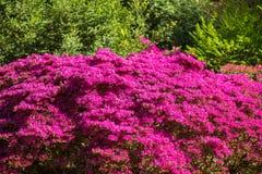 Floración de Rohdodendron del primer Fotografía de archivo libre de regalías