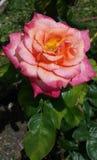Floración de Rose Fotos de archivo libres de regalías