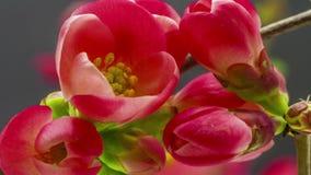 Floración de Rose