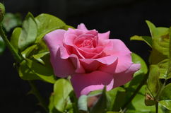 Floración de Rose en la foto del primer del jardín Imagen de archivo