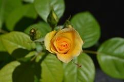 Floración de Rose en la foto del primer del jardín Imagen de archivo libre de regalías